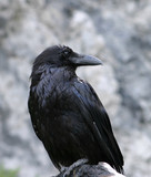 raven close-up poster