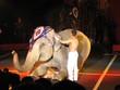 éléphant au cirque 30