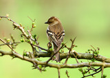 the female chaffinch poster