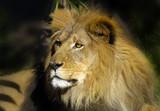 lion 8 poster