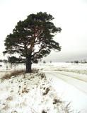 pine - 163206