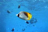 angel fish poster