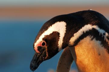 pingouin de magellan (spheniscus magellanicus)