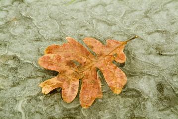 frozen leaf on a pond