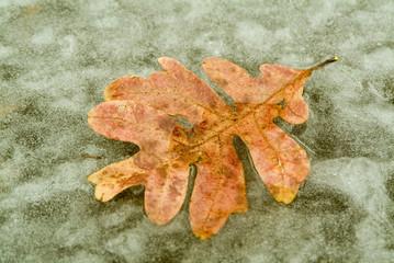 autum leaf on a frozen pond