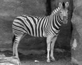 Fototapete Streife - Mustern - Säugetiere