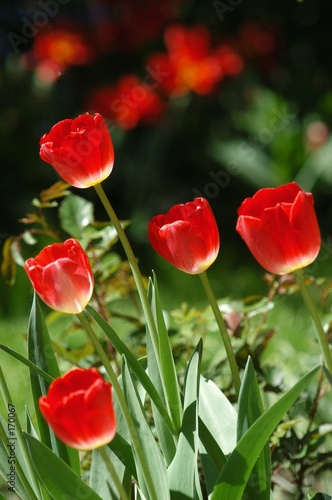 poster of five red flowers