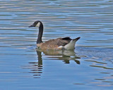 canadian goose reflections poster