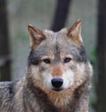 Fototapeta wyglądający - Kanadyjska - Dziki Ssak