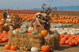 scarecrow in a pumkin patch poster