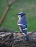 perched blue jay poster