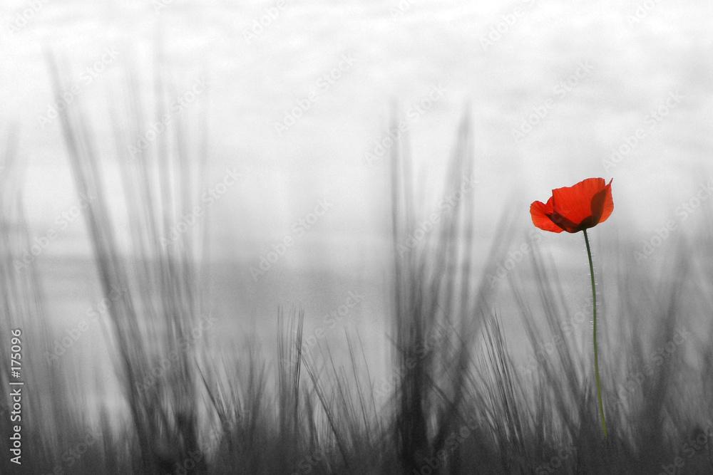 Mglista łąka z czerwonym makiem - powiększenie