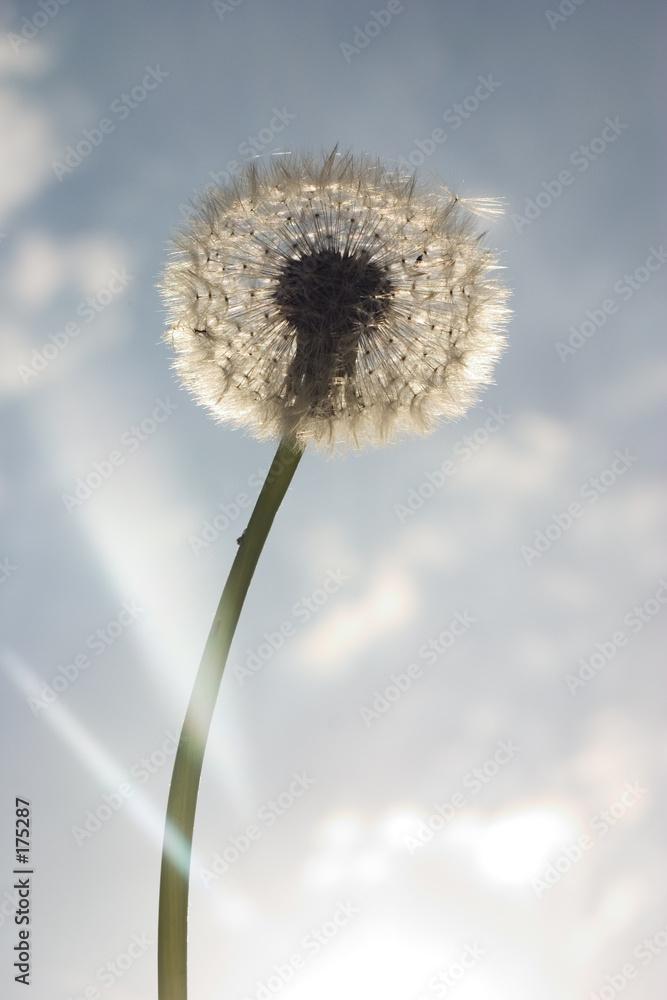 nasienie spadochron mniszek - powiększenie