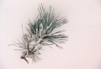 pine needle in snow