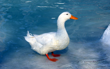 white duck on blue