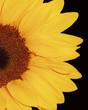 Quadro sunflower i