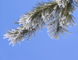 branch covered with hoar-frost poster
