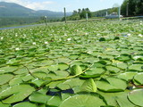 lily pads on the lake poster