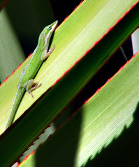 anole in the sun
