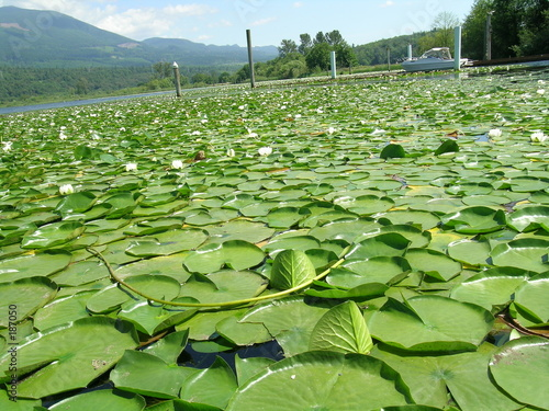 poster of lily pads on the lake