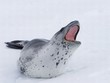 canvas print picture leopard seal