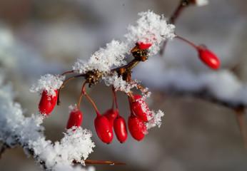 red berries of berberis with snow