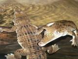 baby crocodiles poster