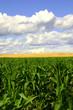 green corn and wheat field