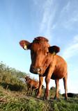 danish cows poster