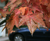 front yard fall maple leaves poster