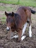 foal rising poster