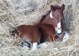 foal laying in hay poster
