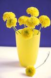 nice yellow chrysanthemums poster