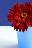 portrait of the  red gerbera poster