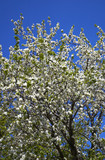 wild apple tree in spring poster