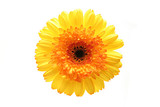 gerbera isolated over white poster
