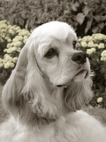 american cocker spaniel head shot in sepia tones poster