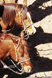 roping horses poster
