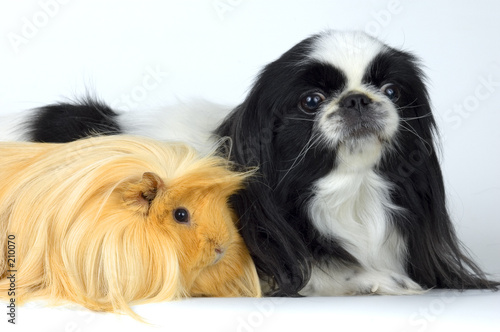 dog and guinea-pig poster