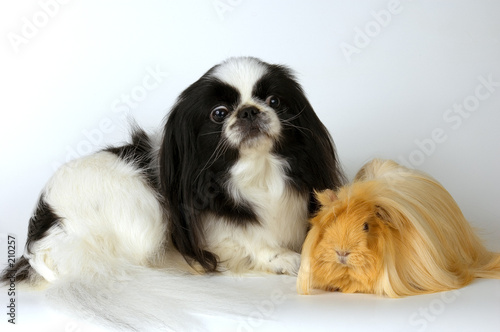 poster of dog and guinea-pig