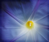macro of morning glory poster