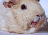 guinea pig with tongue out poster