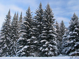 fir trees under the snow poster