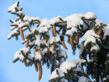 branch of fir under the snow poster
