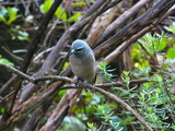 white browed woodswallow poster