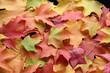 multicolored leaves 1