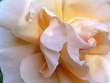 softness of a rose poster