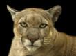 animal - cougar (puma concolor stayleyanan)