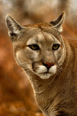 animal - cougar (puma concolor stayleyanan)