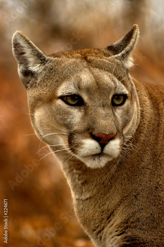Fotobehang Puma animal - cougar (puma concolor stayleyanan)